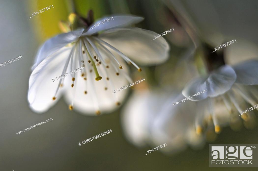 Imagen: cherry blossoms, Eure-et-Loir department, Centre-Val de Loire region, France, Europe.