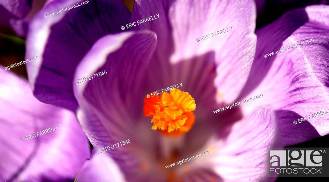 Stock Photo: spring crocuses Montrose scotland.