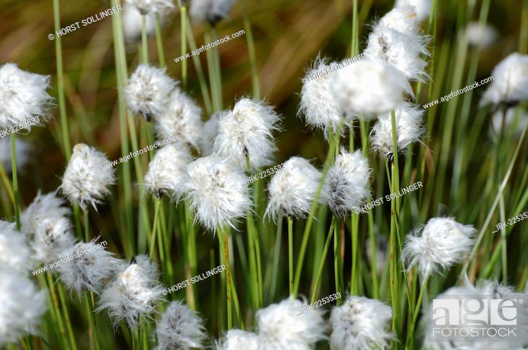 Stock Photo: Hare's-tail Cottongrass, Tussock Cottongrass or Sheathed Cottonsedge (Eriophorum vaginatum L.) in flower after rain, near Rosenheim, Bavaria, Germany, Europe.