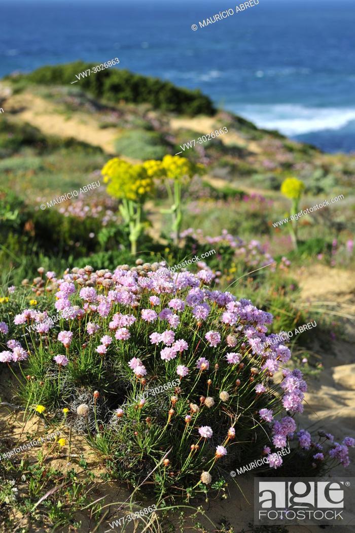 Stock Photo: Armeria pungens blossom. Bordeira, Algarve. Sudoeste Alentejano and Costa Vicentina Nature Park, the wildest atlantic coast in Europe. Portugal.