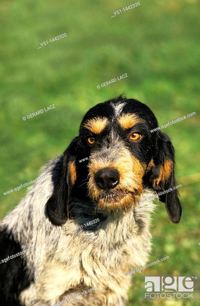 Stock Photo: BLUE GASCONY GRIFFON DOG, PORTRAIT OF ADULT.