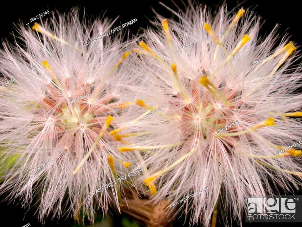Stock Photo: Seeds of compound flowers.
