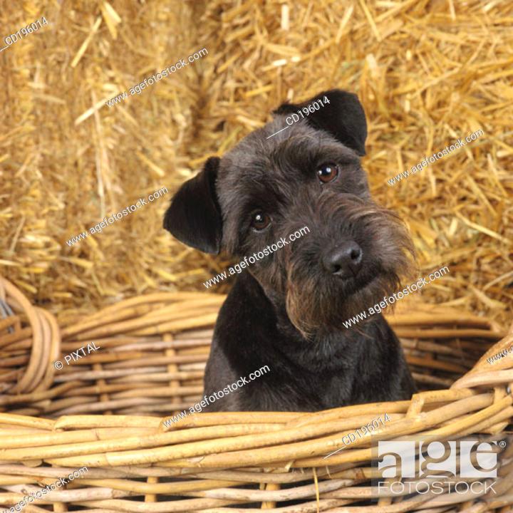 Stock Photo: Fell Terrier.