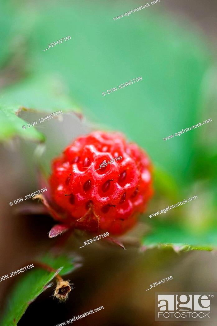 Stock Photo: Ripe wild strawberries (Fragaria virgiana).