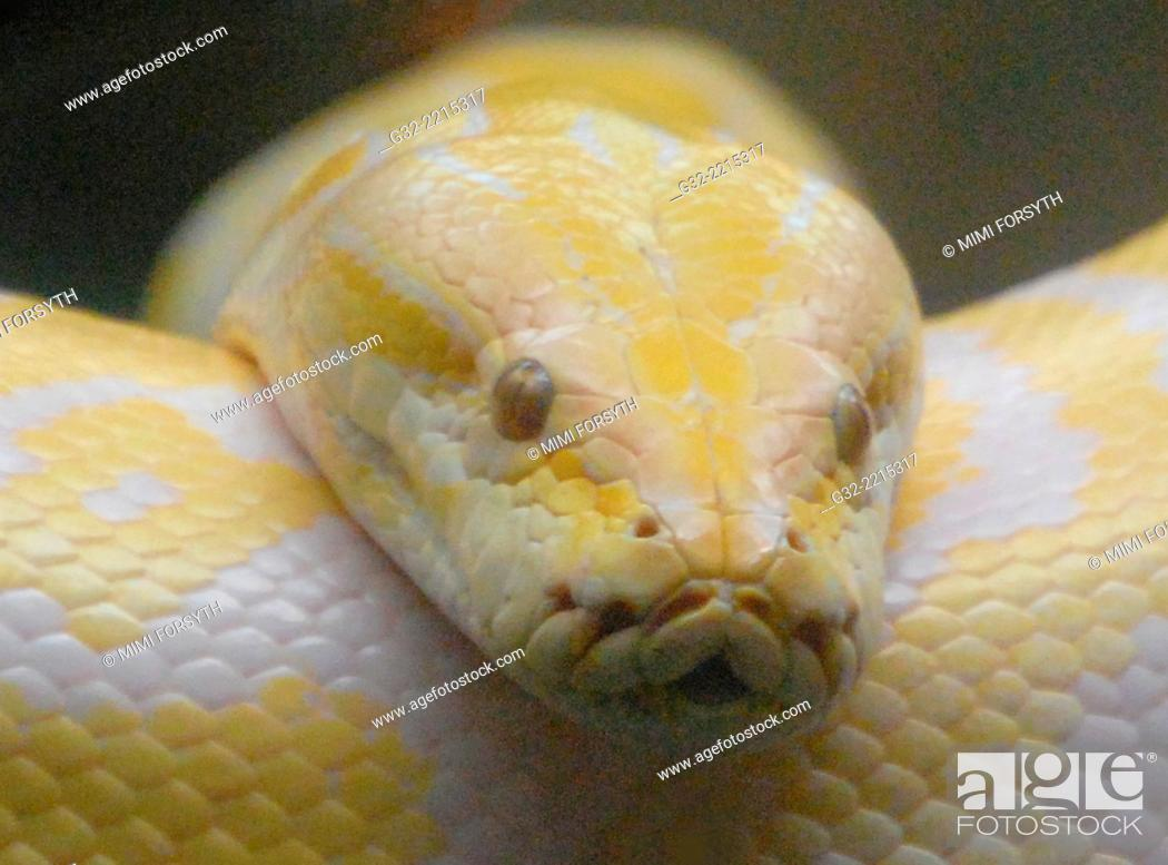 Stock Photo: Albino Burmese python (Python bivittatus) photographed at Honolulu (Hawai'i) Zoo.