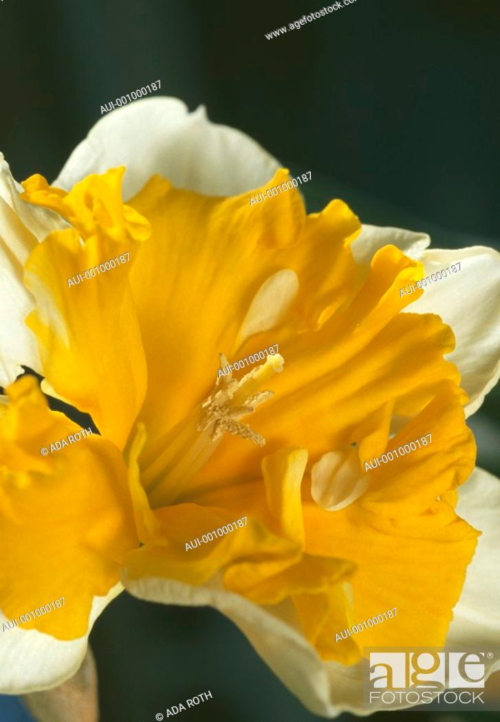 Stock Photo: Narcissus - a yellow petticoat - attraction is the name of the game.