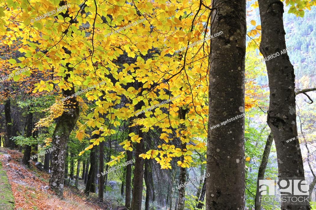 Imagen: Beech trees in autumn time. Serra da Estrela Nature Park, Portugal.