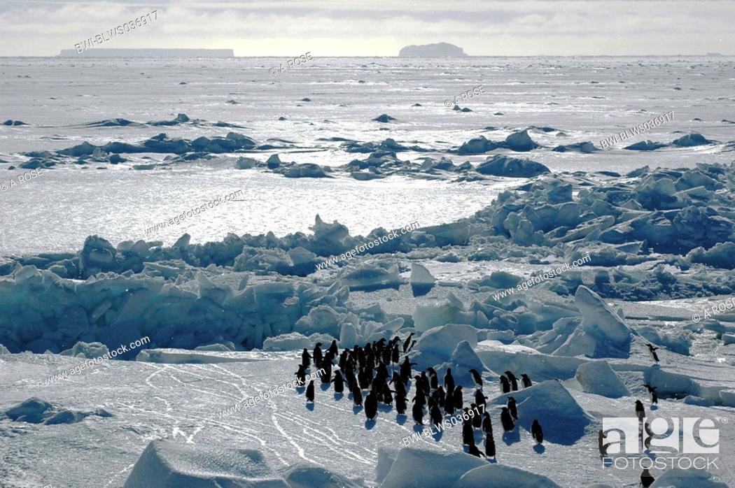 Stock Photo: adelie penguin Pygoscelis adeliae, with Antarctic landscape, Antarctica, Atka-Bucht.