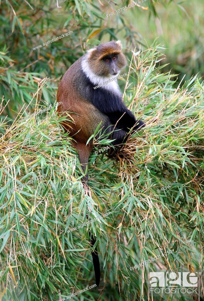Stock Photo: Syke's Monkey Cercopithecus albogularis adult, sitting in bamboo, Aberdare N P , Kenya, november.