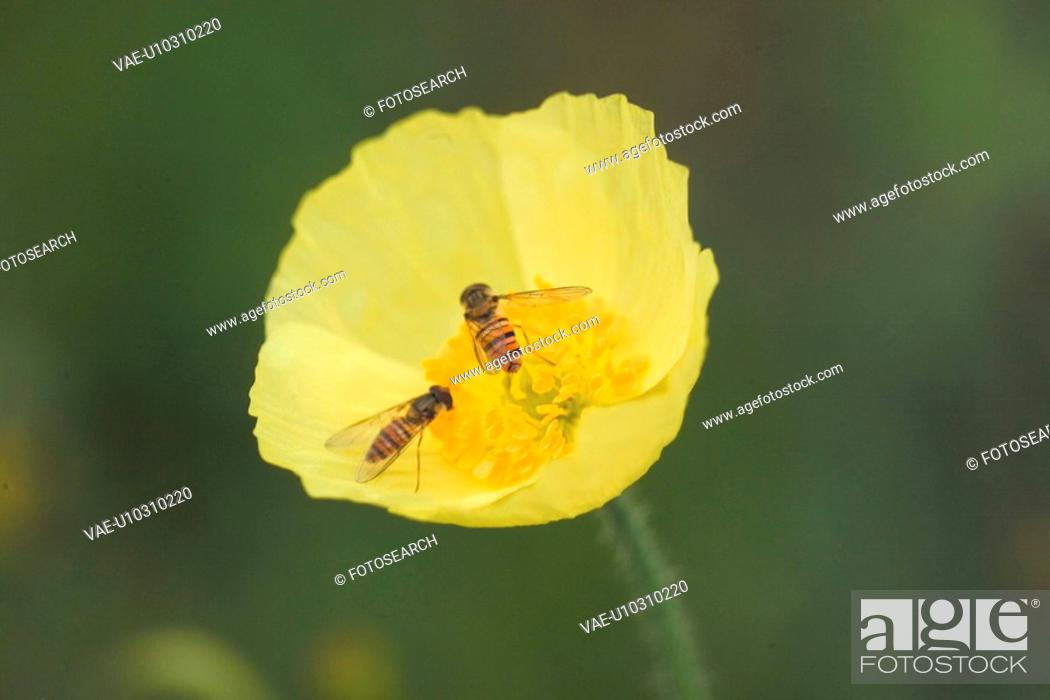 Stock Photo: animal, bee, flower, plant, nature, arthropod, insect.