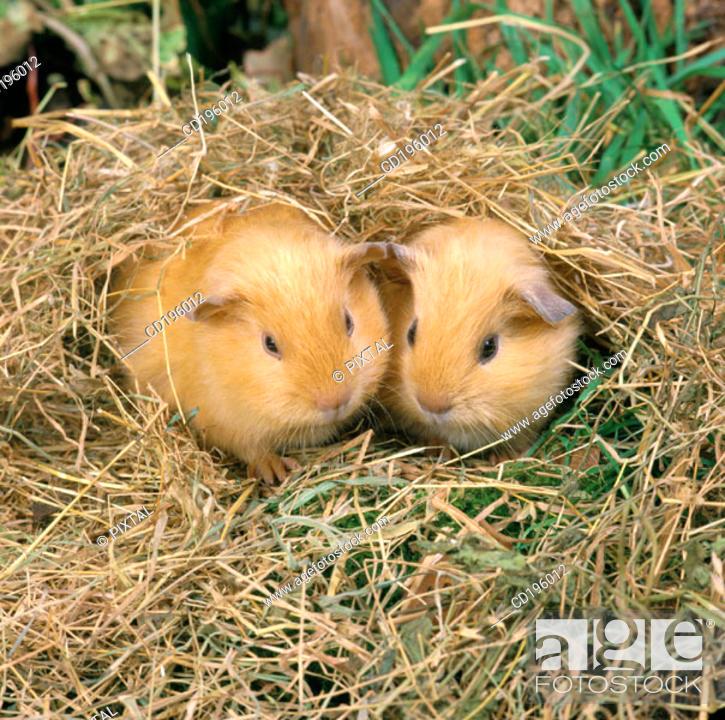 Stock Photo: Baby Guinea Pigs.