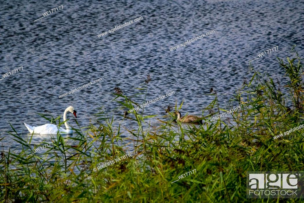Stock Photo: Floating waterfowl young swans, wild birds swimming on the lake, wildlife landscape. Swans swimming on lake in Kemeri National park.