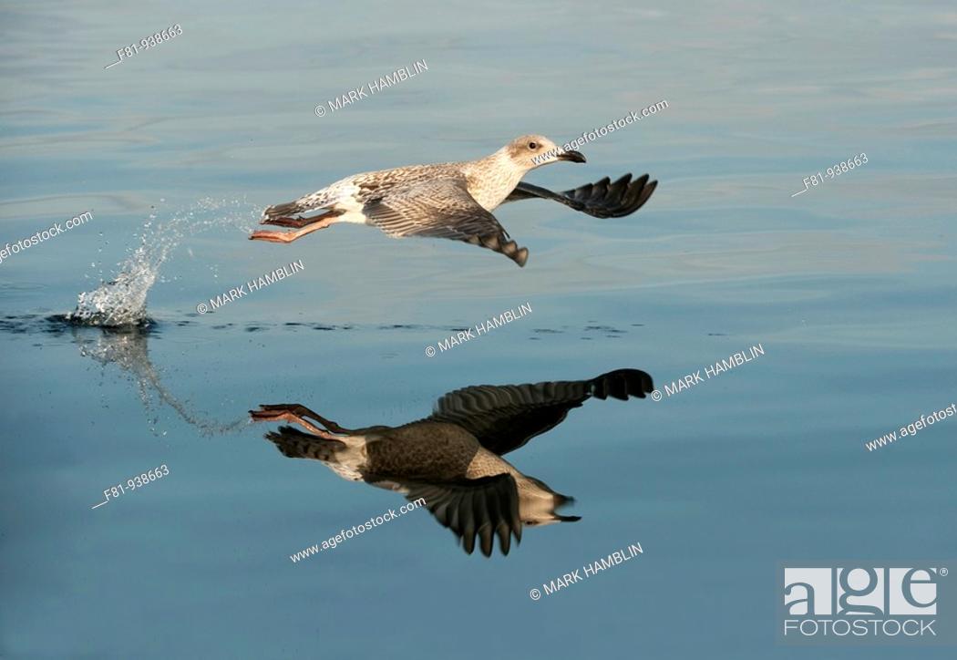 Stock Photo: Herring gull Larus argentatus in flight  August 2009.