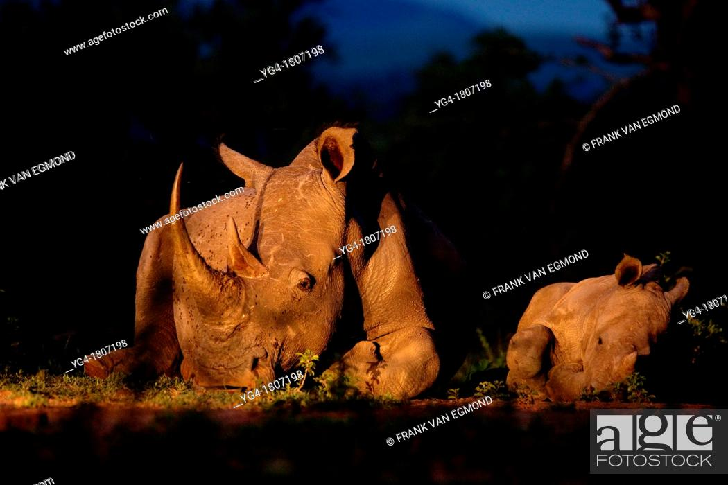 Stock Photo: White Rhinoceros Ceratotherium simum  Endangered species  Near Threatened   A mother and calf lay down beside each other  Rhino poaching has been rampant in.