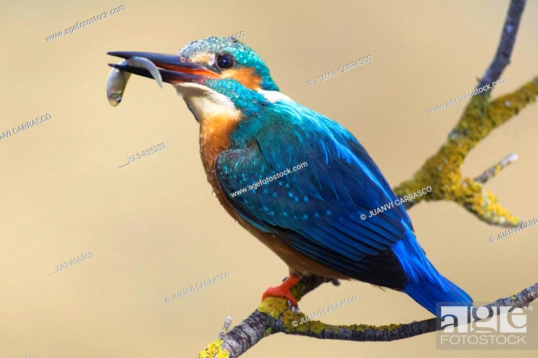 Stock Photo: Eurasian kingfisher, Alcedo atthis, perched on a branch with a fish in beak.