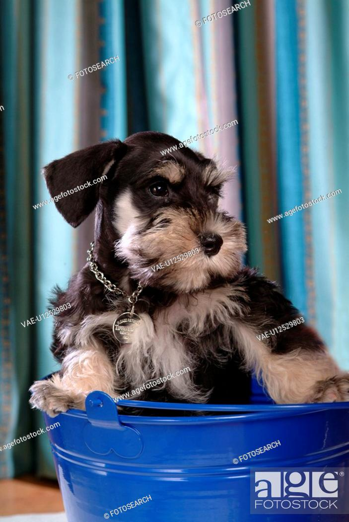 Stock Photo: pose, schnauzer, house pet, canines, domestic, miniature schnauzer.