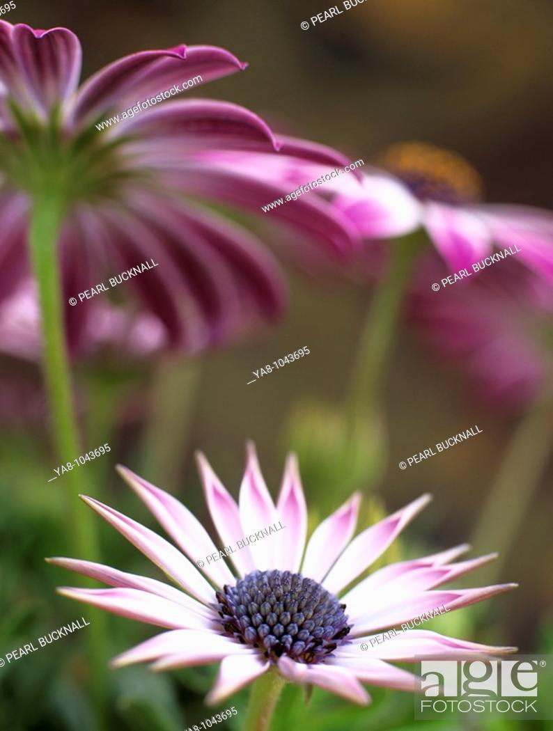 Stock Photo: Benllech, Anglesey, Wales, UK  OSTEOSPERMUM - 'SILVIA' differentially focused on newly opened pink and white flower with older flowers above.