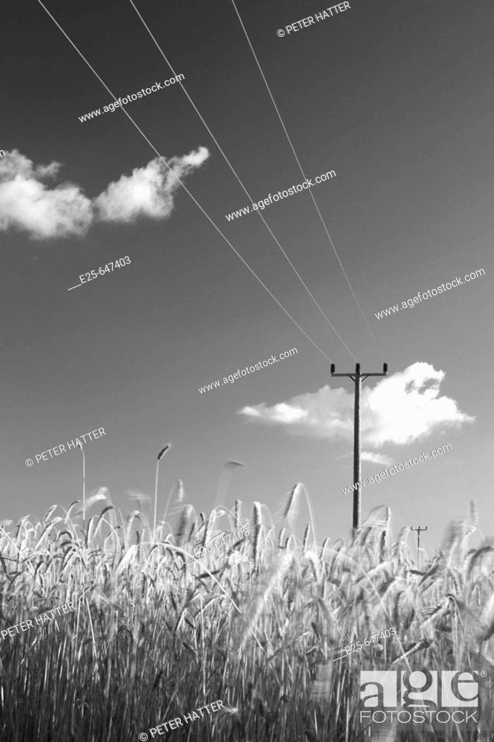 Stock Photo: Field of rye and overhead powerline.