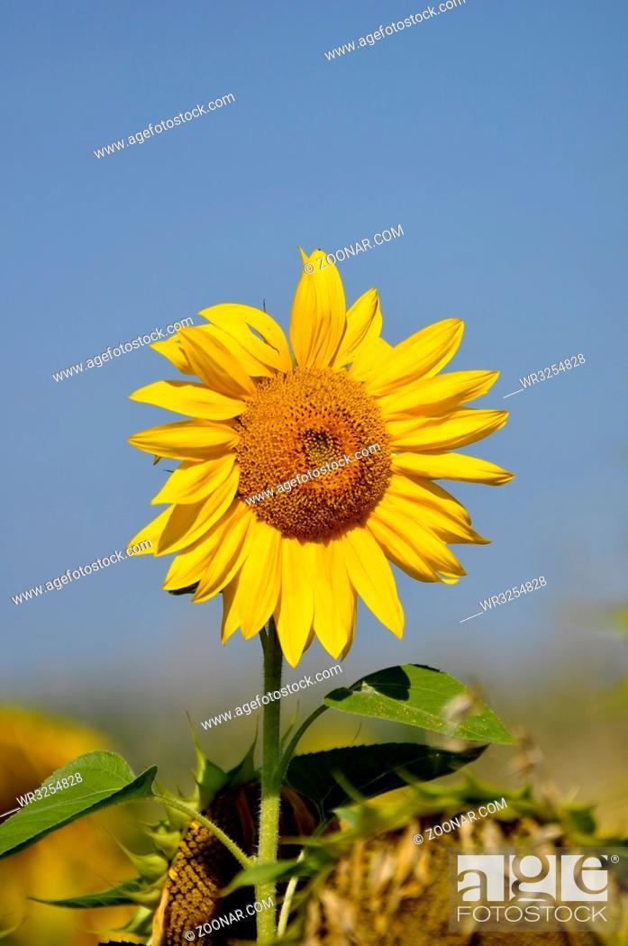 Stock Photo: Sonnenblume, mit blauem Himmel,.