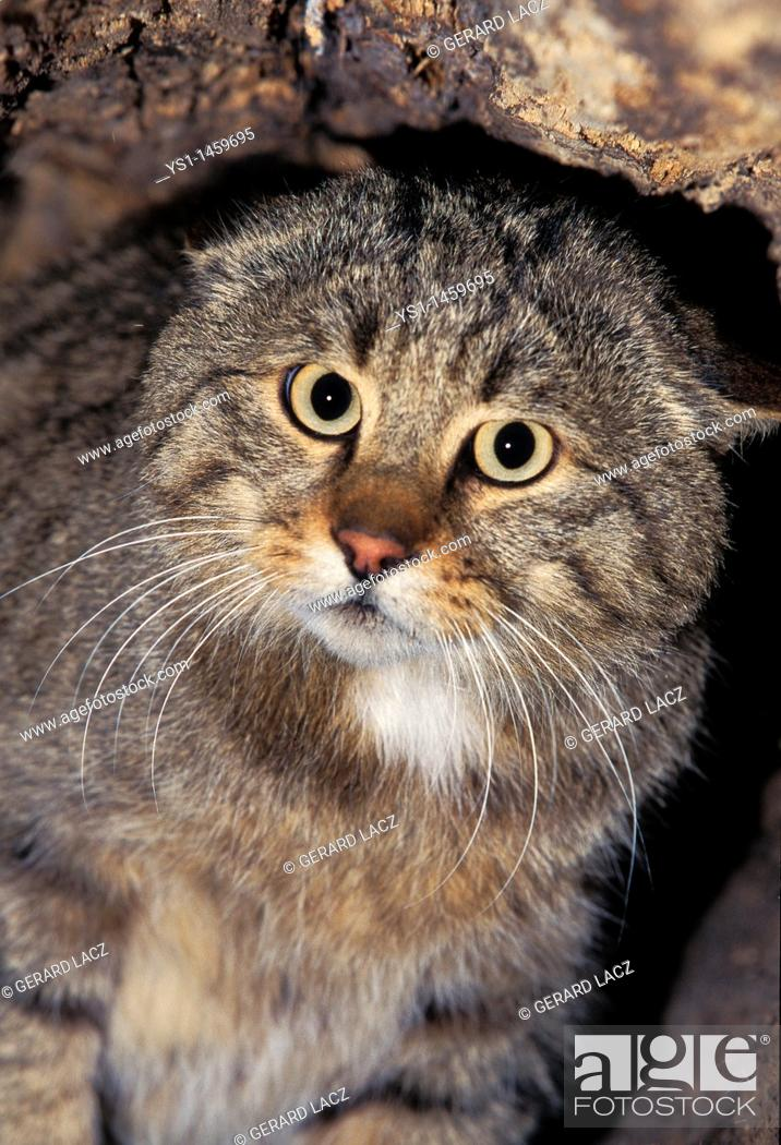 Stock Photo: EUROPEAN WILDCAT felis silvestris, PORTRAIT OF ADULT.