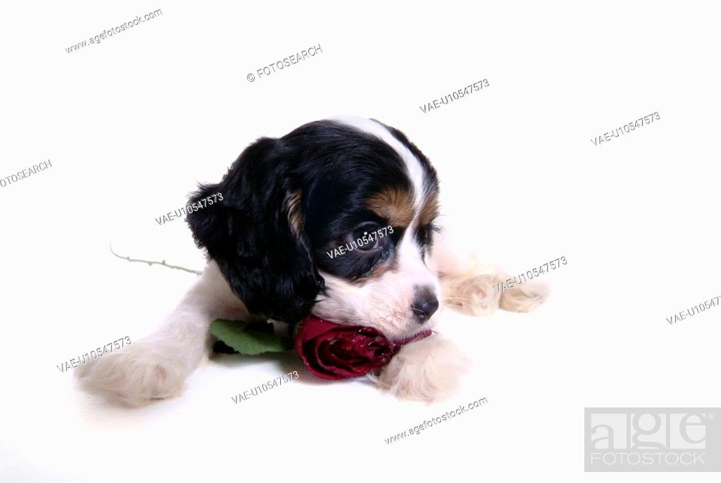 Stock Photo: canines, animal, domestic, cocker spaniel, dog, puppy, pet.