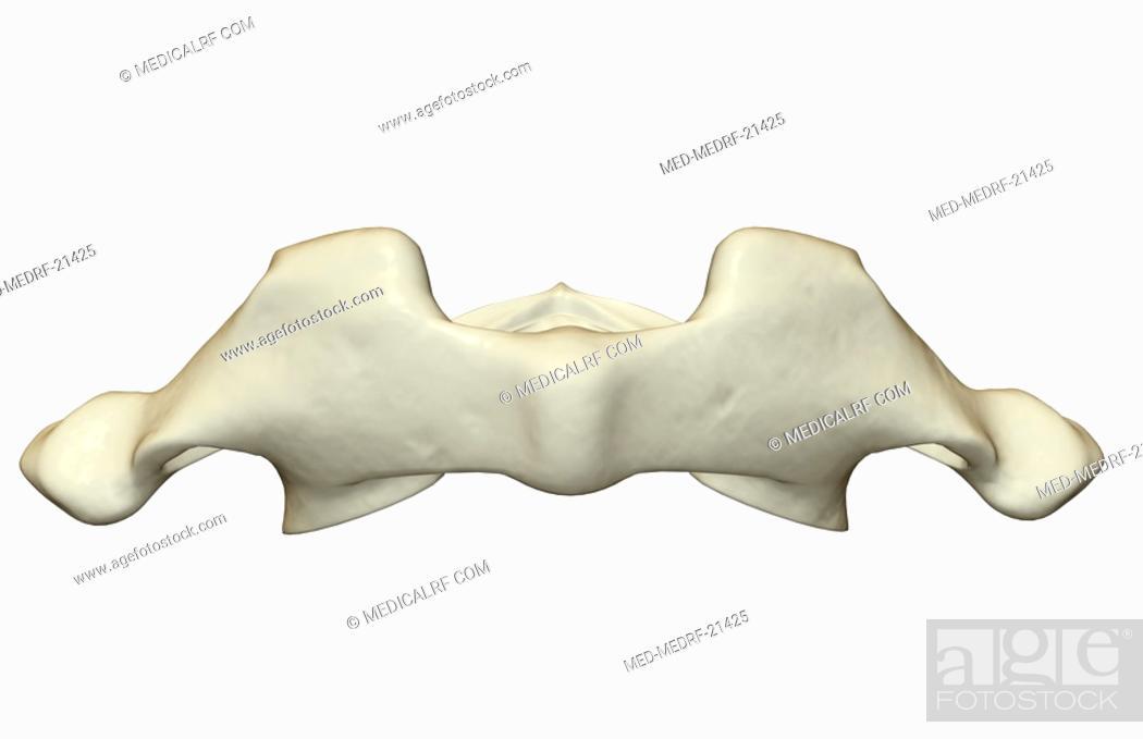 Stock Photo: The atlas bone.
