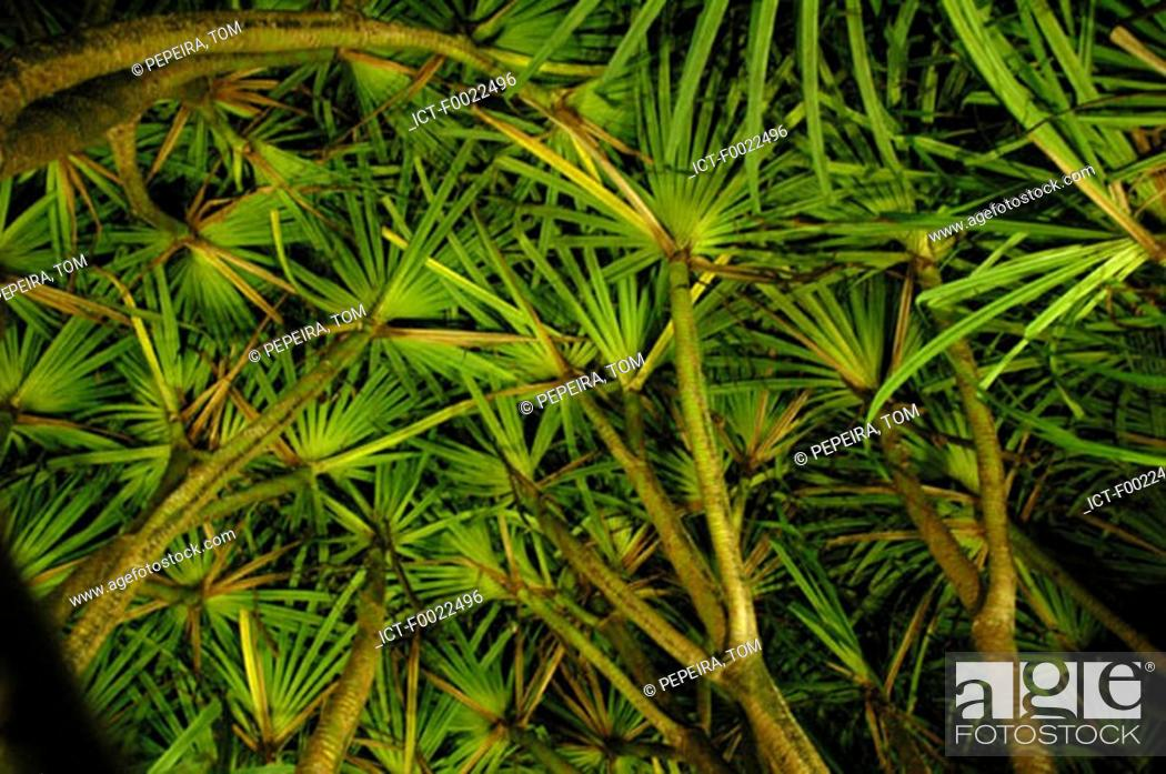 Stock Photo: Costa Rica, Arenal Volcano National Park, Tabacon, pandanus.