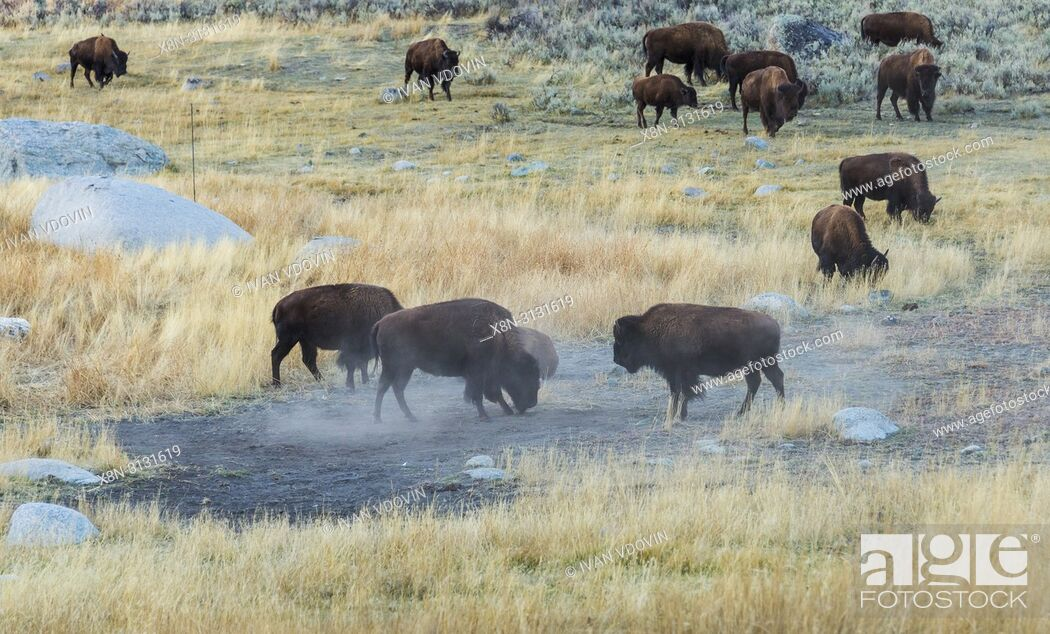 Stock Photo: American bison, Bison bison, Yellowstone National Park, USA.