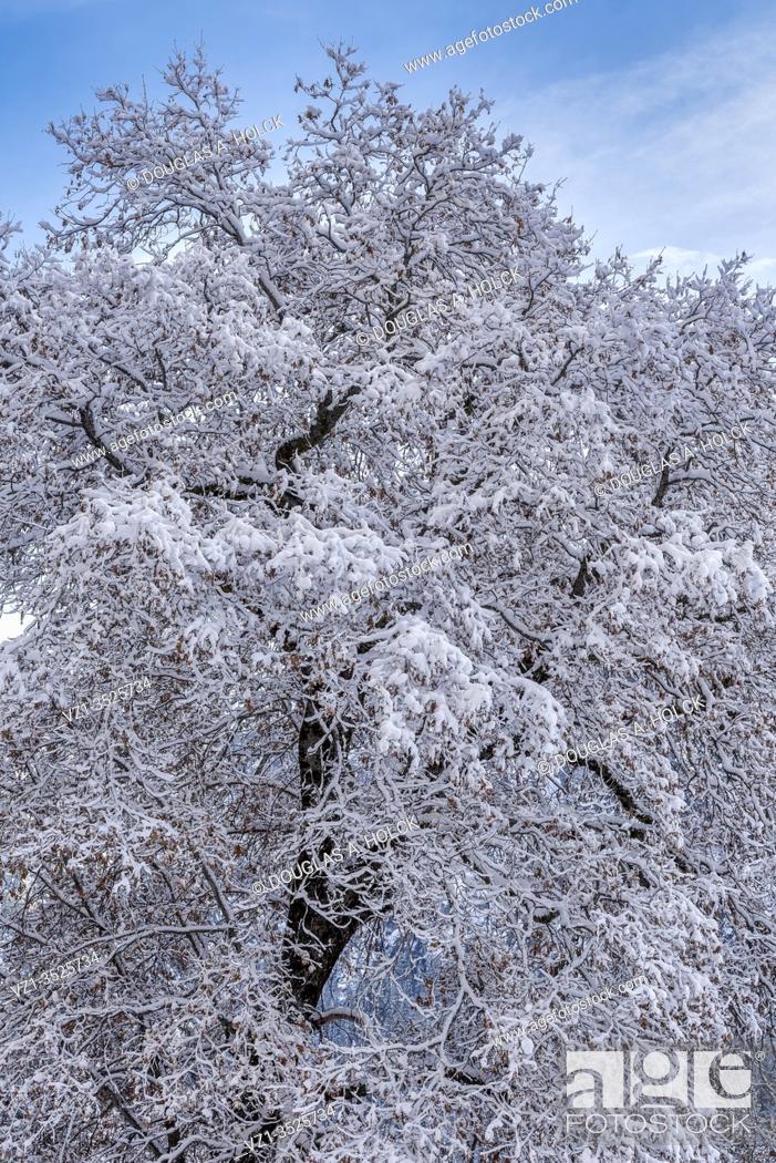Imagen: Snow Covered Oak Tree in Yosemite National Park CA USA World Location.