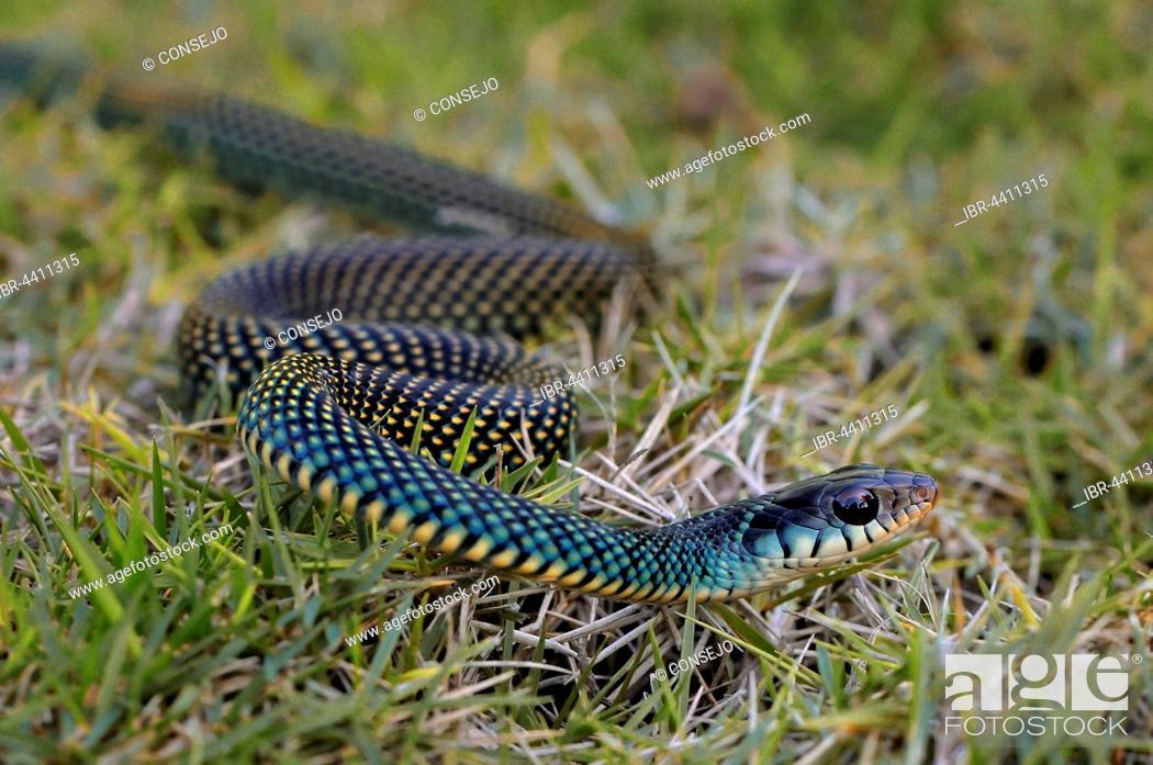 Photo de stock: Speckled Racer (Drymobius margaritiferus), Corozal district, Belize.
