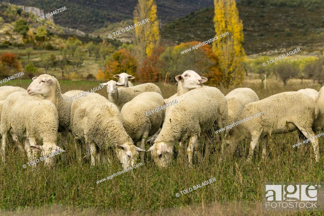 Stock Photo: rebaño de ovejas, Santa María de la Nuez , municipio de Bárcabo, Sobrarbe, Provincia de Huesca, Comunidad Autónoma de Aragón, cordillera de los Pirineos, Spain.