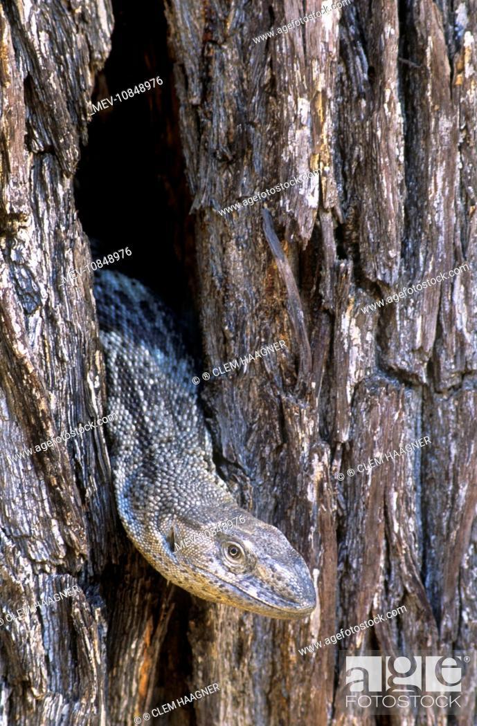 White Throated Monitor Lizard Varanus Albigularis Stock Photo