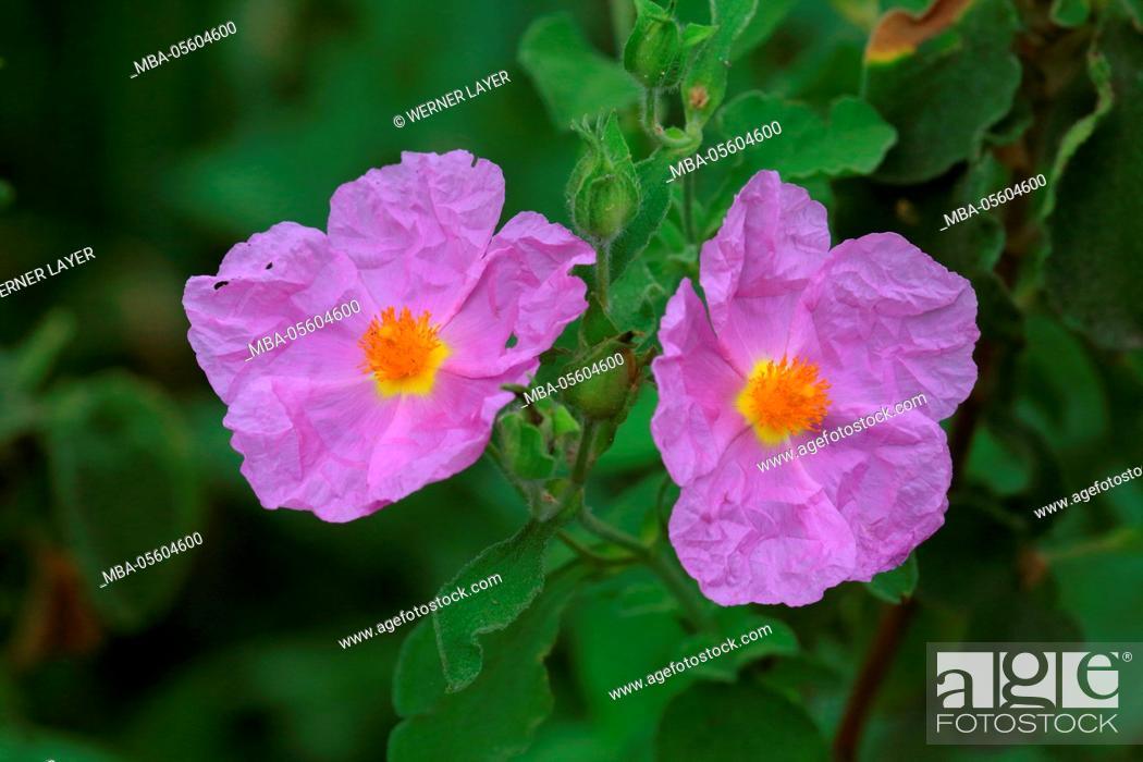 Stock Photo: Pink Rock-Rose, Cistus creticus.