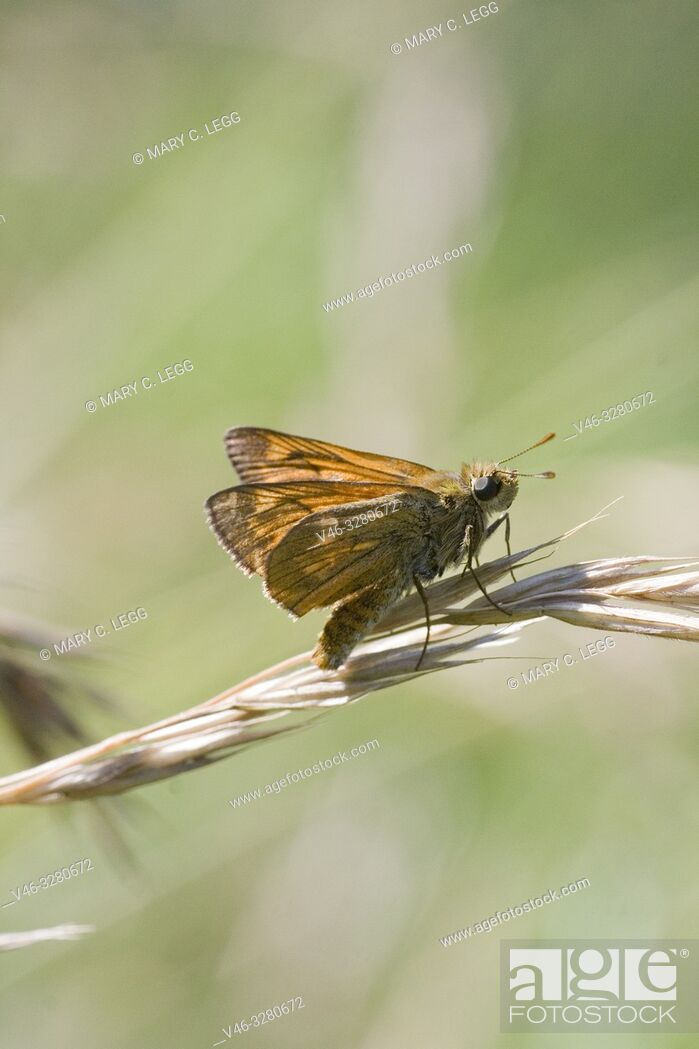 Stock Photo: Lulworth Skipper, Thymelicus acteon. Small orange skipper that may be confused with the Large Skipper, Ochlodes sylvanus.