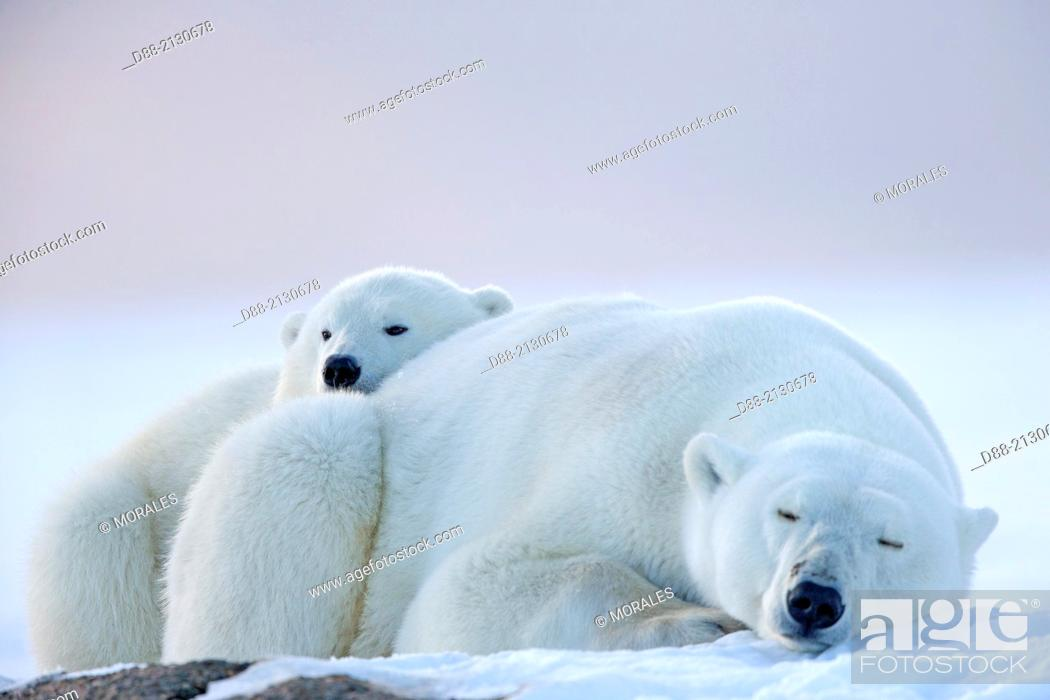 Stock Photo: United States,Alaska,Arctic National Wildlife Refuge,Kaktovik,Polar Bear( Ursus maritimus),mother with one cub from the year along a barrier island outside.
