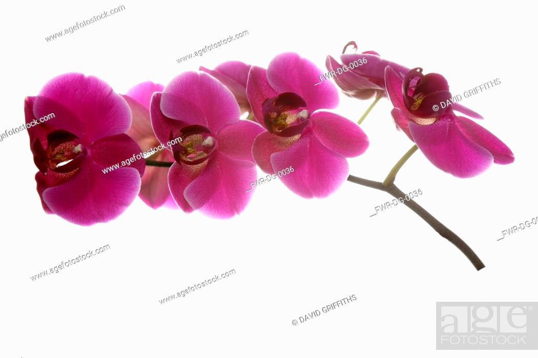 Imagen: Orchid, Moth orchid, Phalaenopsis, Studio shot of several pink open flower heads on horizontal stem.