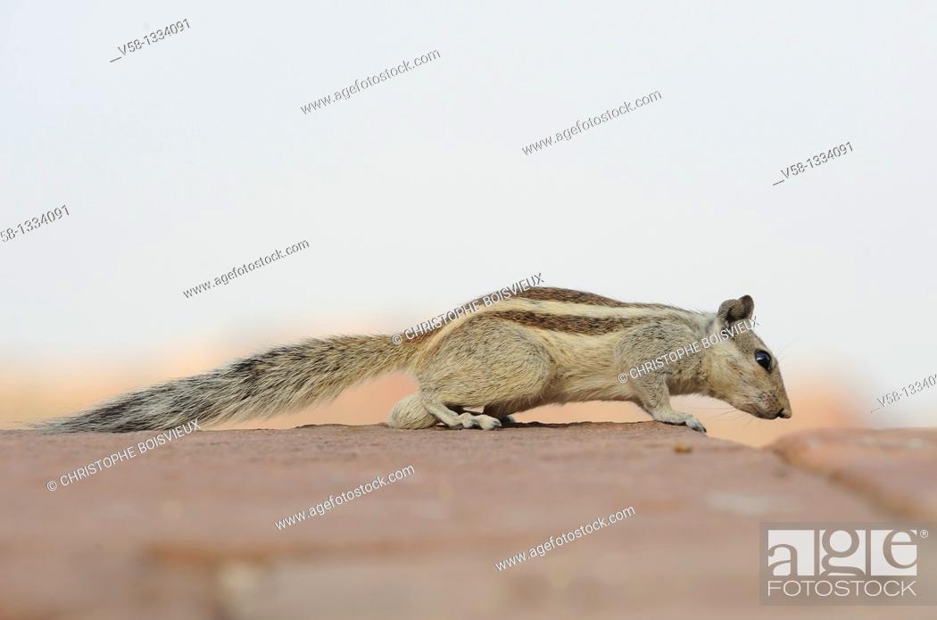 Stock Photo: Squirrel, Jodhpur region, Rajasthan, India.