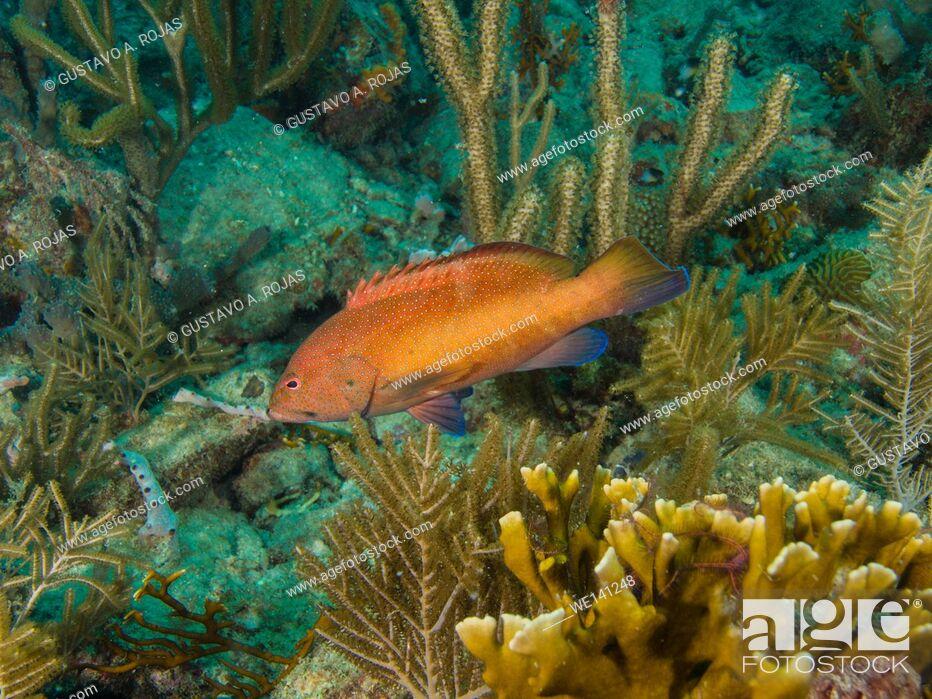 Imagen: Coney Grouper, Cephalopholis fulva, , Los Roques, Venezuela. Los Roques, Venezuela.