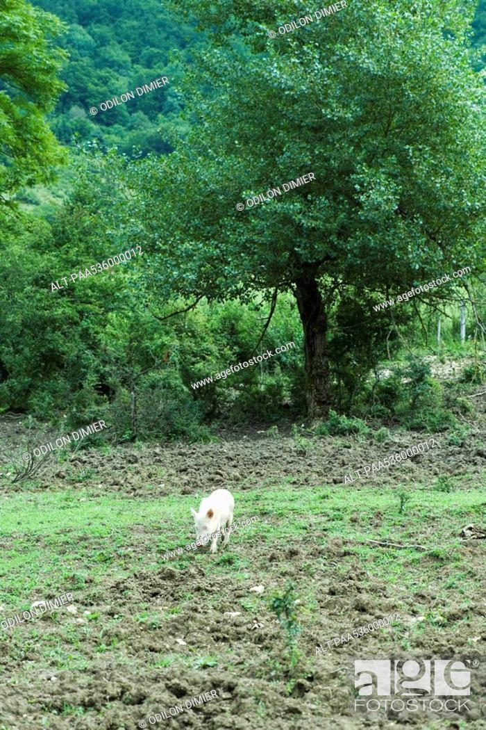Stock Photo: Pig walking in field.