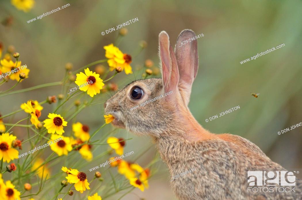 Stock Photo: Desert Cottontail (Sylvilagus audobonii) Eating flower blossoms, Quinta Mazatlan, McAllen, Texas, USA.