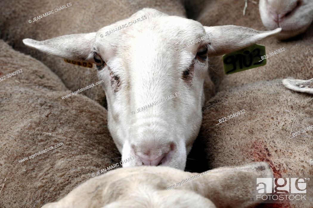 Stock Photo: Festival of the ewe, fête de la brebis, demonstration of shearing and hand -milking, Requista, Aveyron, Midi-Pyrénées, Occitanie, France.