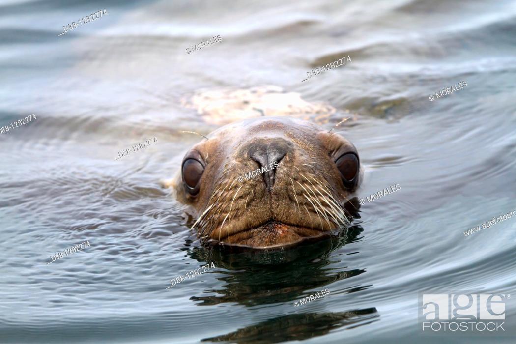 Stock Photo: Northern Sea Lion Eumetopias jubatus Order : carnivora family : Otariidae.