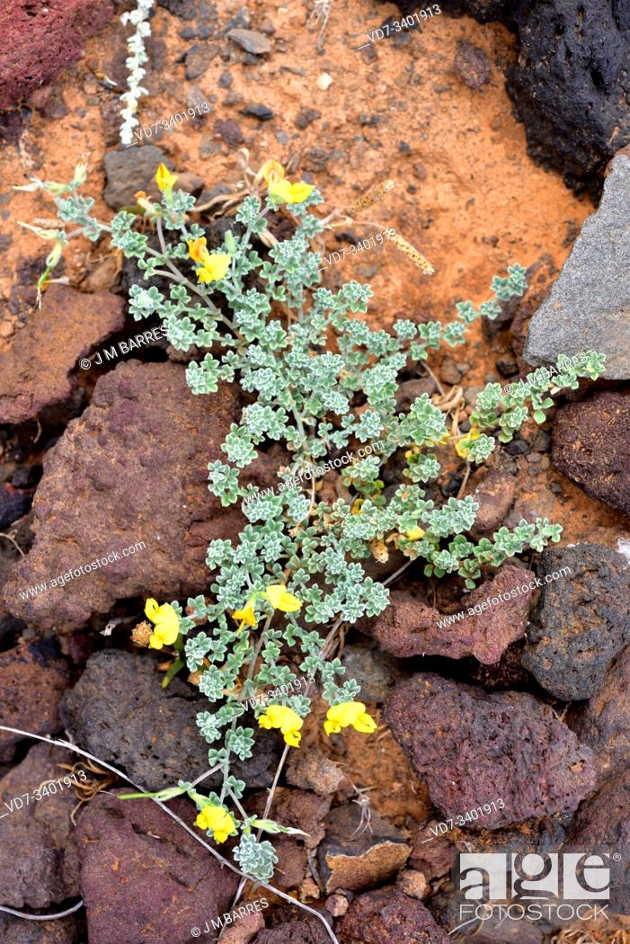 Stock Photo: Corazoncillo de Lanzarote (Lotus lancerottensis) is a prostrate herb endemic to eastern Canary Islands. This photo was taken in Lanzarote Island, Canary Islands.