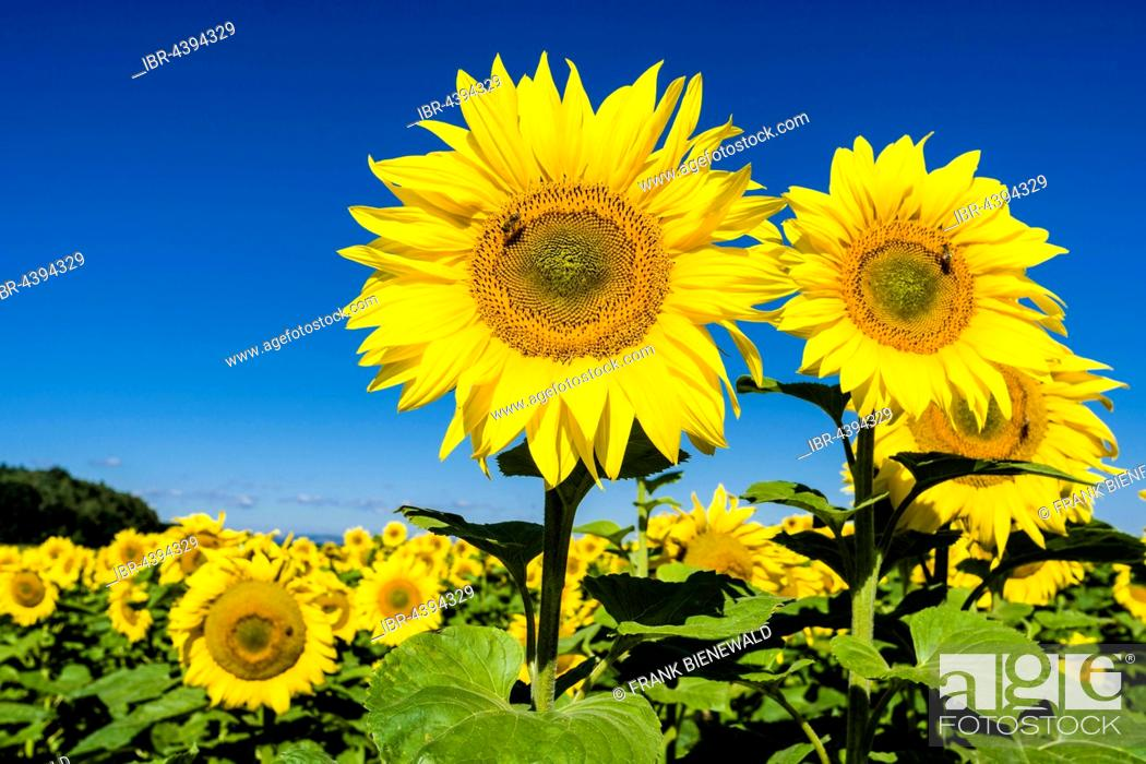 Stock Photo: Blossoms of common sunflowers (Helianthus annuus) in a sunflower field, Saxony, Germany.