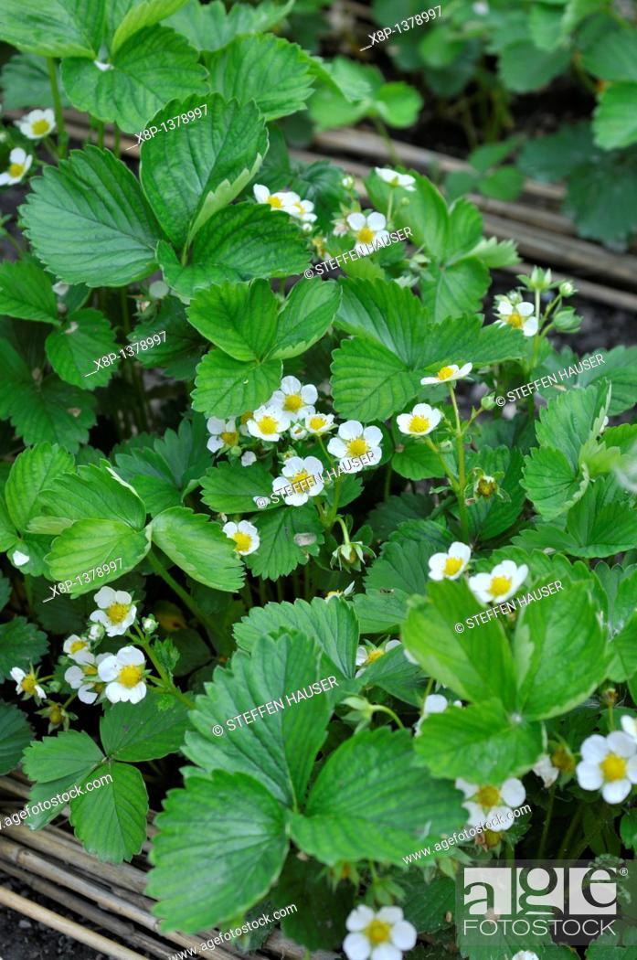 Stock Photo: Strawberry Fragaria x ananassa.