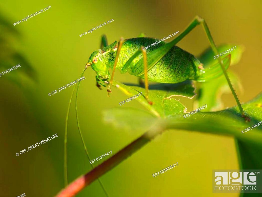 Stock Photo: Female of a speckled bush-cricket (Leptophyes punctatissima) eating a leaf.