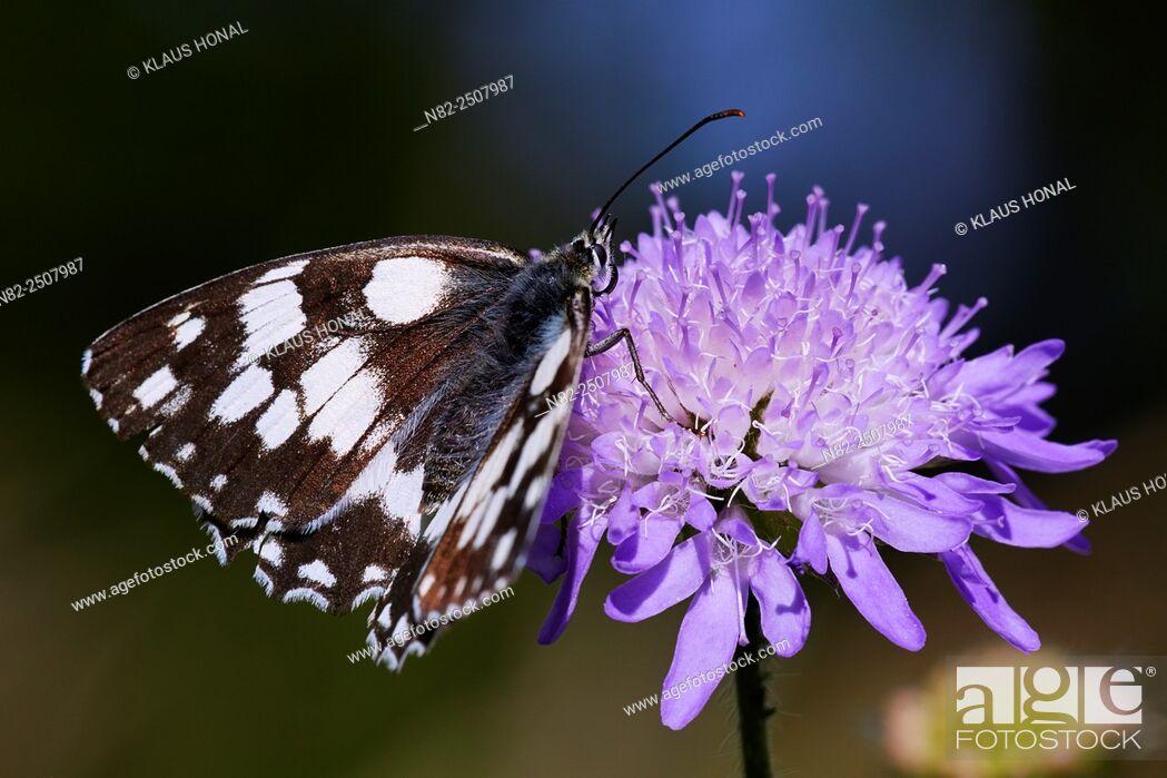 Stock Photo: Marbled White Butterfly Melanargia galathea on Field Scabious Knautia arvensis - Hesselberg region, Bavaria/Germany.