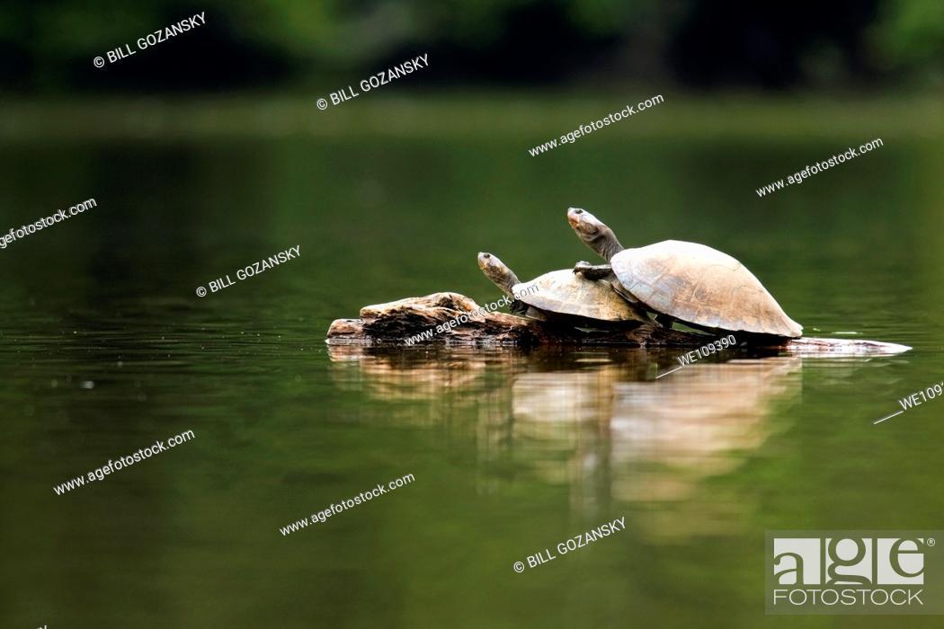 Stock Photo: River Turtles - La Selva Jungle Lodge, Amazon Region, Ecuador.