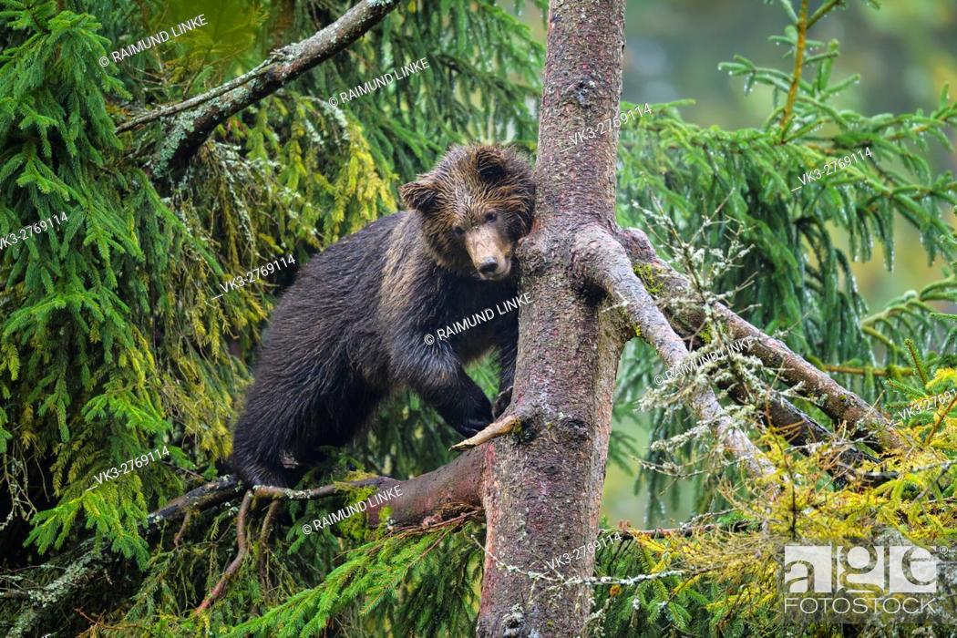 Imagen: Brown Bear, Ursus arctos, Cub in tree, Bavaria, Germany.