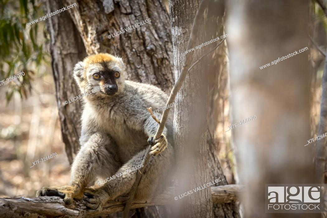 Stock Photo: Red-fronted Brown Lemur in Isalo National Park, Madagascar.